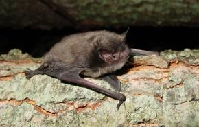 The Indiana Bat