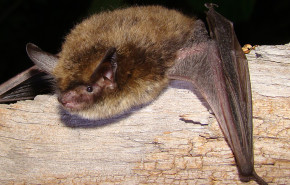 Northern Long-Eared Bat Gets Federal Protection