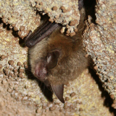 Northern_long-eared_bat_crop