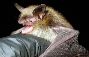 Northern Long-Eared Bat – Section 4(d) Rule