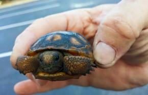 Meeting Gopher Tortoise Relocation Needs