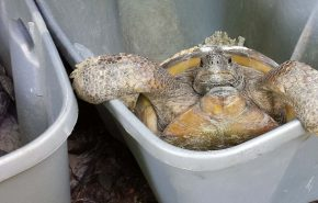 Gopher Tortoise Relocation Effort Makes a Visit to GAI